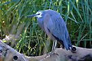 White Faced Heron - Central Australia. by Alwyn Simple
