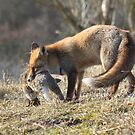 Red Fox with prey by DutchLumix
