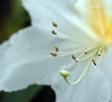Rhododendrum Magregoriae by Kenric A. Prescott