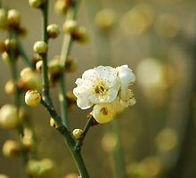 Spring plum blossoms  by davvi