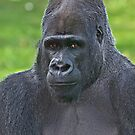 Western Lowlands Gorilla 1 by John Caddell