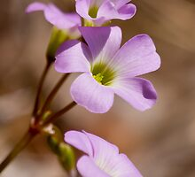 Wildflower Pink Oxalis tetraphylla  by Lee Hiller-London