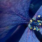 Blue Hydrangea by BoB Davis