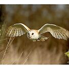 Panoramic Barn Owls by Norfolkimages