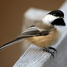 Black-capped Chickadee by Alain Turgeon