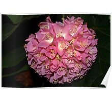 Pink Ball Tropical Hydrangea Poster