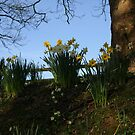 Daffodils in dappled light by moor2sea