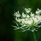 Queen Anne's Lace by Diane Blastorah