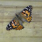 Butterfly on Fence by Caren