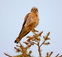 AMERICAN KESTREL by Sandy Stewart