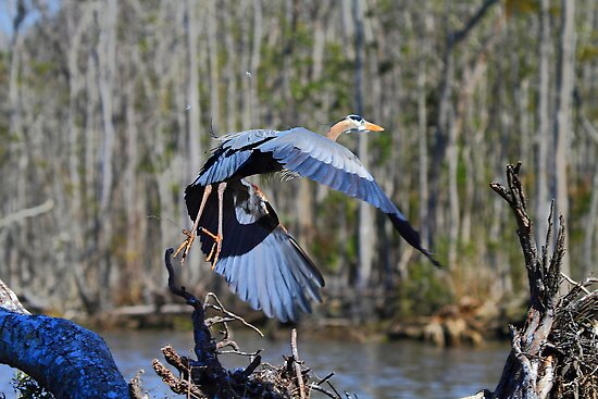 Blue Heron by DHParsons
