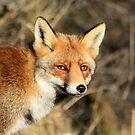 Red Fox - 1814 by DutchLumix