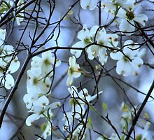 Dogwood ~ Florida, March 5th by AuntDot