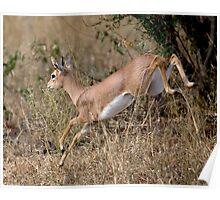 Steenbok On The Run Poster
