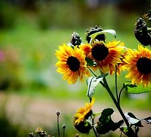 Sun Flower Soak up the Sun by Rachel Montiel