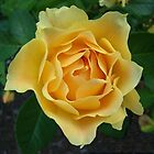 Yellow Rose ~ by Virginian Photography (Judy)