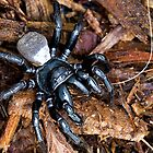 Mouse Spider, not a Funnel-Web Spider by Normf