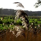 Reeds in the sun by KatDoodling