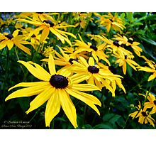 Sunshine (Black Eyed Susans) Photographic Print