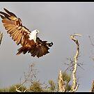 Brahminy Kite 71 by John Van-Den-Broeke
