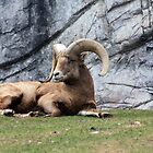 Bighorn Sheep by Alyce Taylor