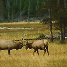 Elk Bulls Sparring by Joe Elliott