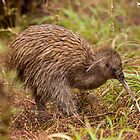 Stewart Island Kiwi - New Zealand by Kimball Chen