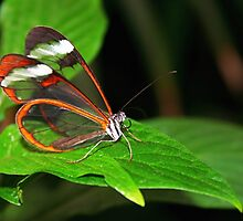 Greta Oto - Glasswing by Jo Nijenhuis