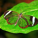Glasswing With Open Wings by Jo Nijenhuis