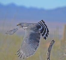 Grey Hawk  by Judy Grant