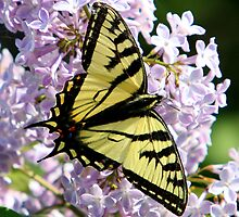 Canadian Tiger Swallowtail by Jennifer Day