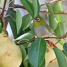 Silvereye's Delight by Rick Playle