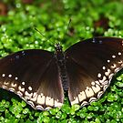 Open Wings Great Eggfly - Hypolimnas bolina by Lepidoptera