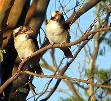 Kookaburras by bobby1