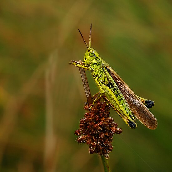 Grasshopper by Lifeware