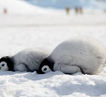 Emperor Penguin chicks at Snowhill Island, Antarctica by chrisepting