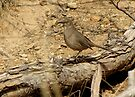 Curved-billed Thrasher II by Kimberly Chadwick