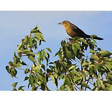 Great-tailed Grackle ~ Female Photographic Print