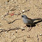 Dark-eyed Junco ~ Red-backed Subspecies by Kimberly P-Chadwick