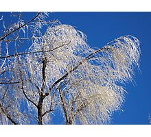 Ice coated willow branches Photographic Print
