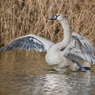 ...and the Swan  by Henri Ton
