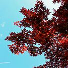 Japanese maple contrails -Tokyo by hawkea