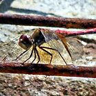 Dragonfly At Rest by SuddenJim