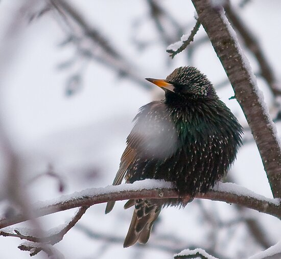 European Starling by Benjamin Brauer