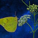 Butterfly and Milkweed by swaby