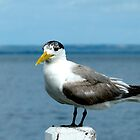 crested tern by SUBI