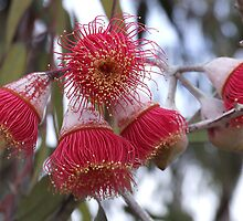 Eucalyptus Flowers by Harvey Schiller