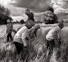 Rice Harvest by Ken McColl