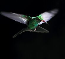 Broad-Billed Hummingbird by Rob Lavoie