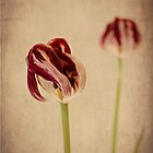 Old Masters - Tulip by Jayne Le Mee